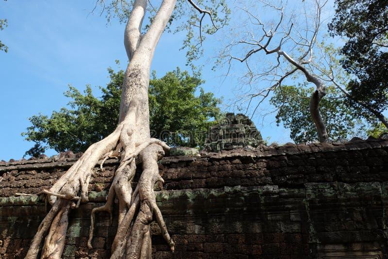 Arbres de banian sur des ruines dans le temple de Ta Prohm cambodia Grandes racines a?riennes de ficus sur le mur en pierre antiq image stock