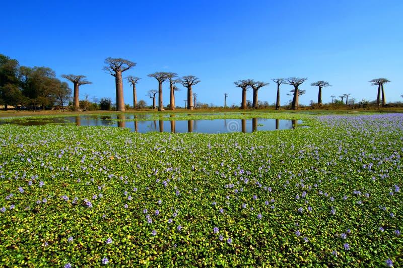 Arbres de baobab photo stock