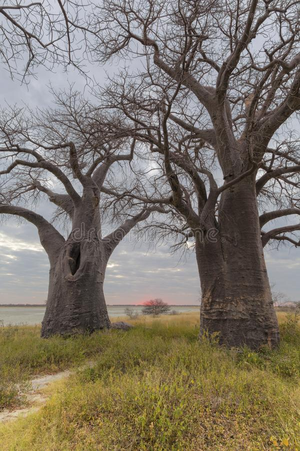 Arbres de baobab de Baines au coucher du soleil photo stock