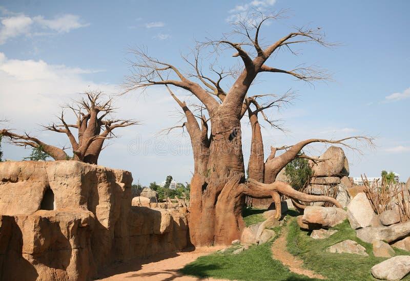 Arbres de baobab dans Biopark images libres de droits