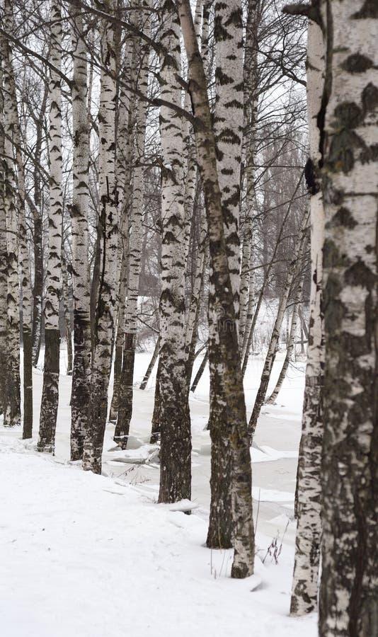 Arbres de bouleau à l'hiver photos stock