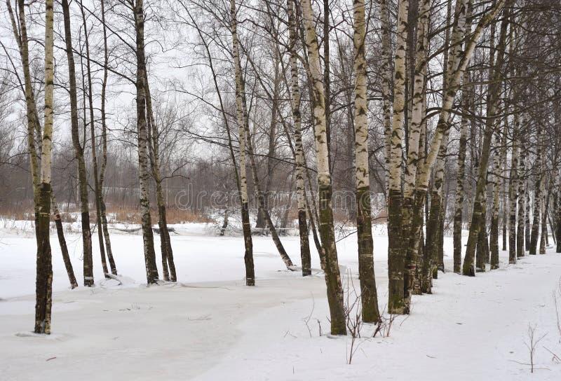 Arbres de bouleau à l'hiver images libres de droits