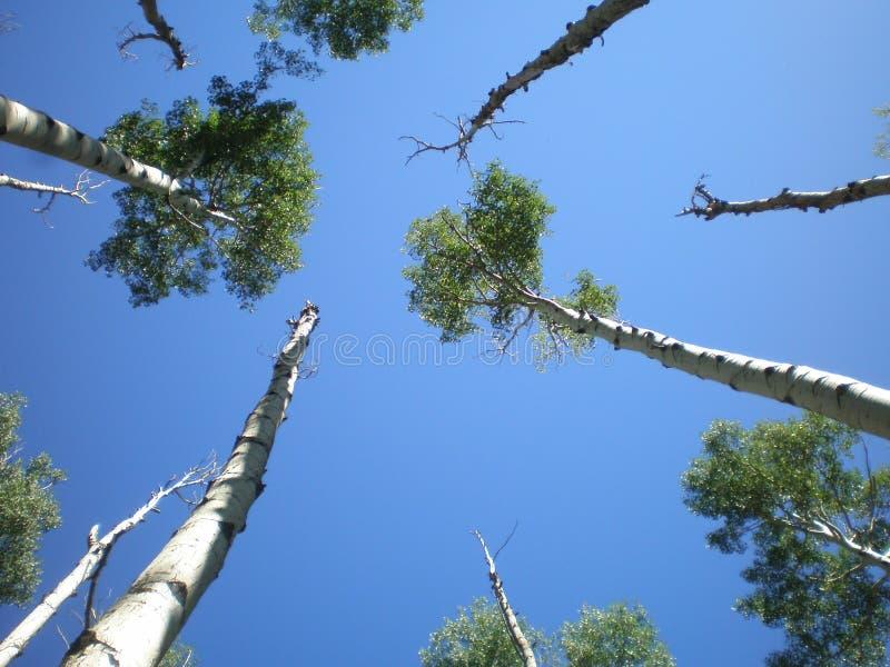 Arbres de bouleau atteignant au ciel image stock