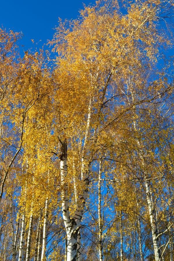 Arbres de bouleau avec les feuilles jaunies contre le ciel bleu lumineux en automne photo stock