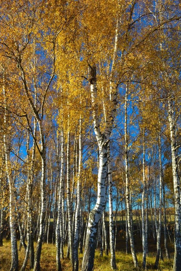Arbres de bouleau avec les feuilles jaunies contre un ciel bleu lumineux en automne Russie images libres de droits