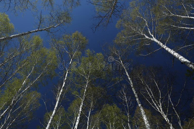 Arbres de bouleau avec les feuilles vertes molles dans la perspective du ciel de ressort images stock