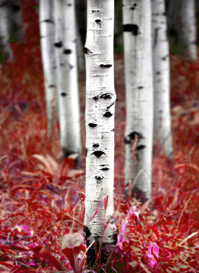 Arbres de bouleau d'Aspen dans l'automne photographie stock libre de droits