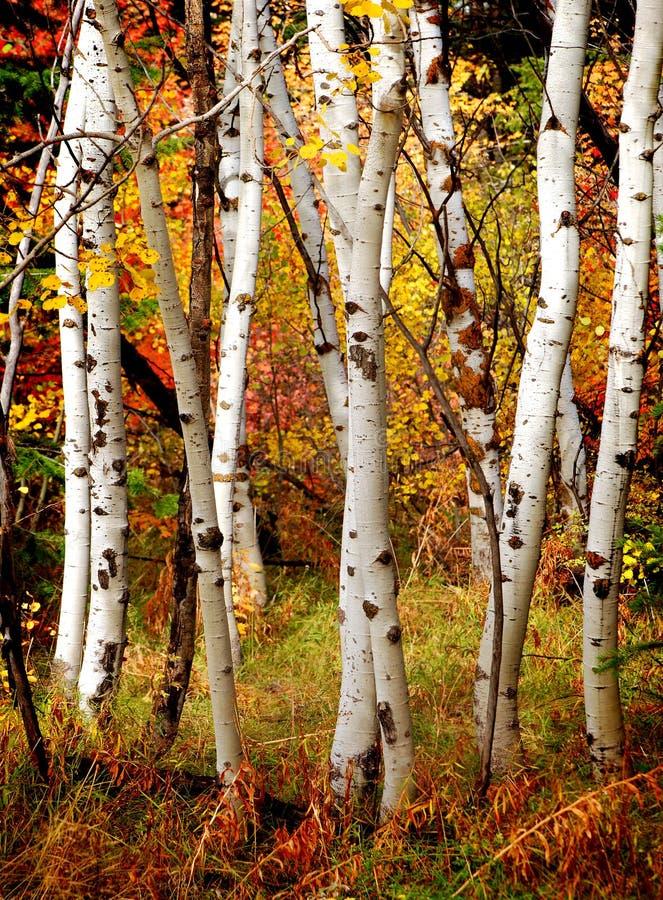 Arbres de bouleau d'automne photo stock