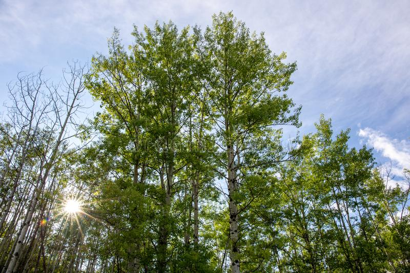 Arbres de bouleau du côté de la route ; étoiles du soleil avec la cuvette de filteringh de rayons du soleil les feuilles endroit  photo libre de droits