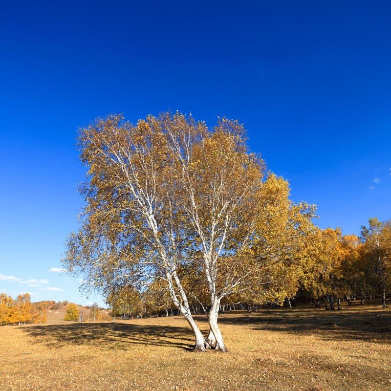 Arbres de bouleau en automne images stock
