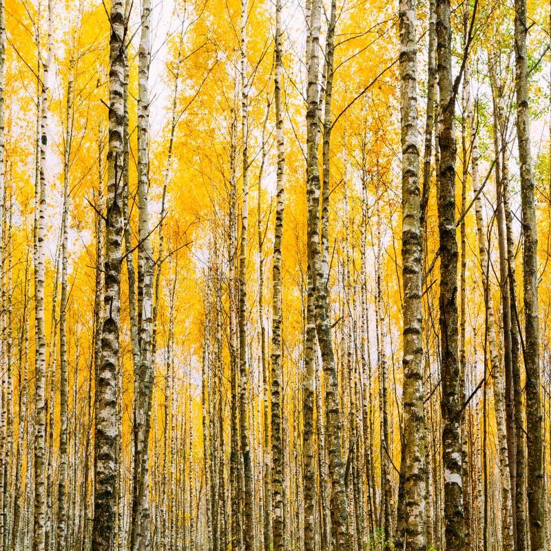 Arbres de bouleau en Autumn Woods Forest Yellow Foliage Avant russe photos libres de droits