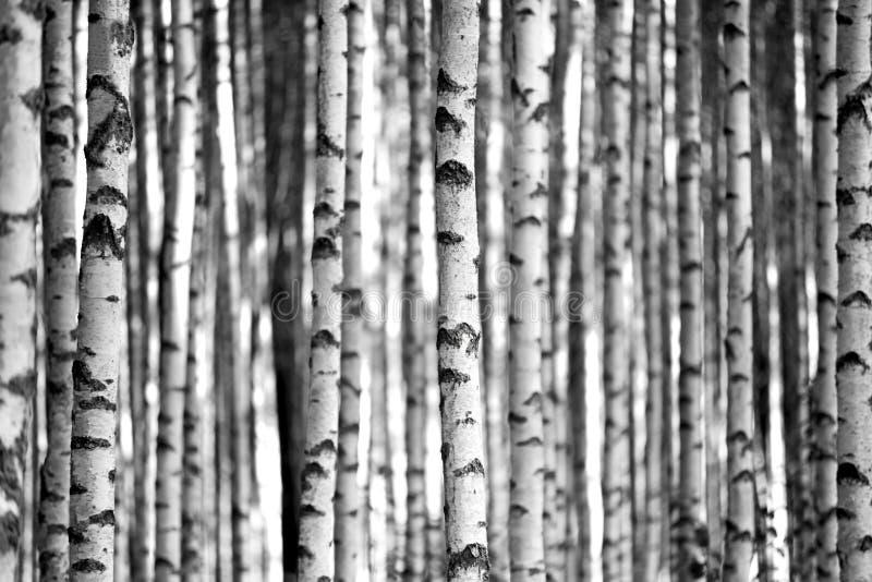 Arbres de bouleau en noir et blanc images stock
