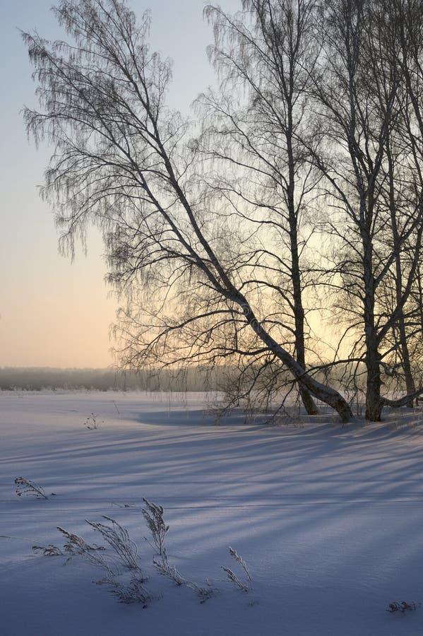 Arbres de bouleau de penchement sur la neige - verticalement photographie stock