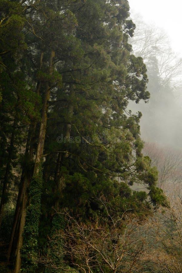 Arbres de cèdre grands de forêt de Takachiho, Miyazaki, Japon photographie stock