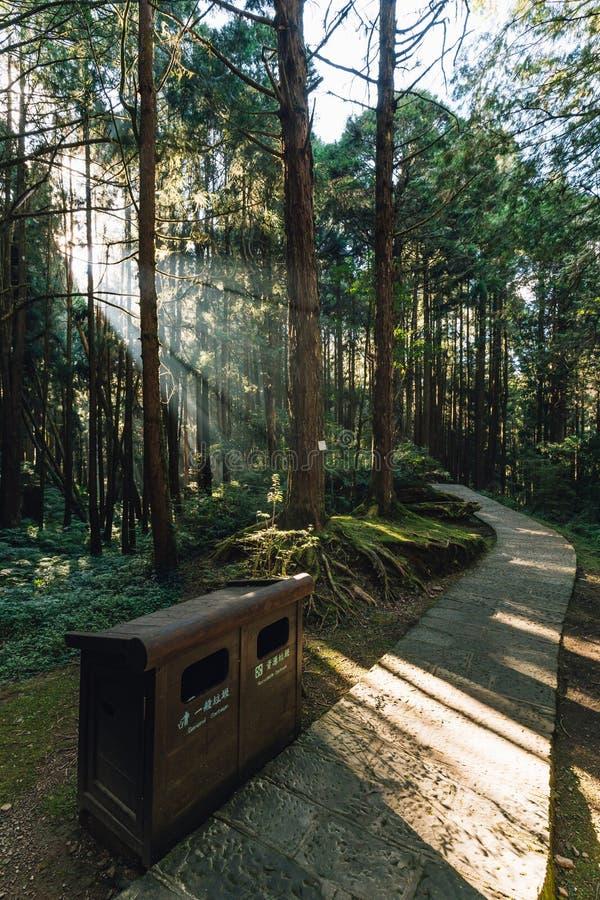 Arbres de cèdre japonais dans la forêt avec le rayon traversant de lumière du soleil et la poubelle couverte du bois dans Alishan image libre de droits