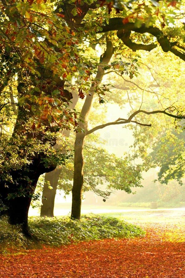 Arbres de chêne en beau brouillard photos stock