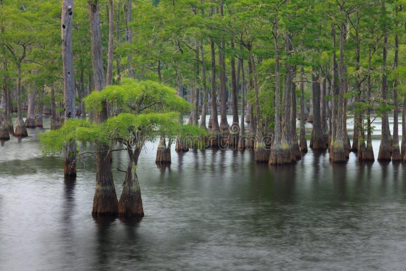 Arbres de Cypress image stock