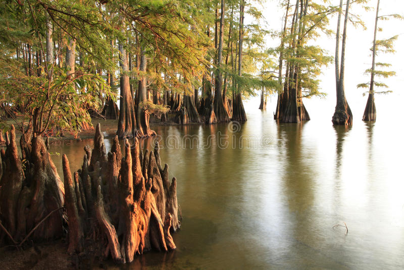 Arbres de Cypress chauve aux eaux au coucher du soleil photos libres de droits
