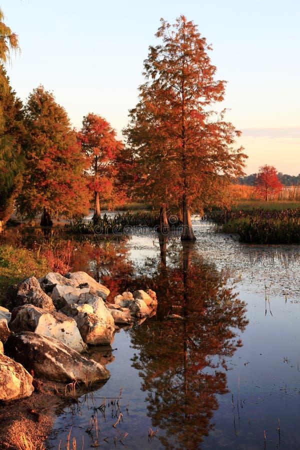 Arbres de Cypress chauve d'automne reflétés dans le lac images libres de droits