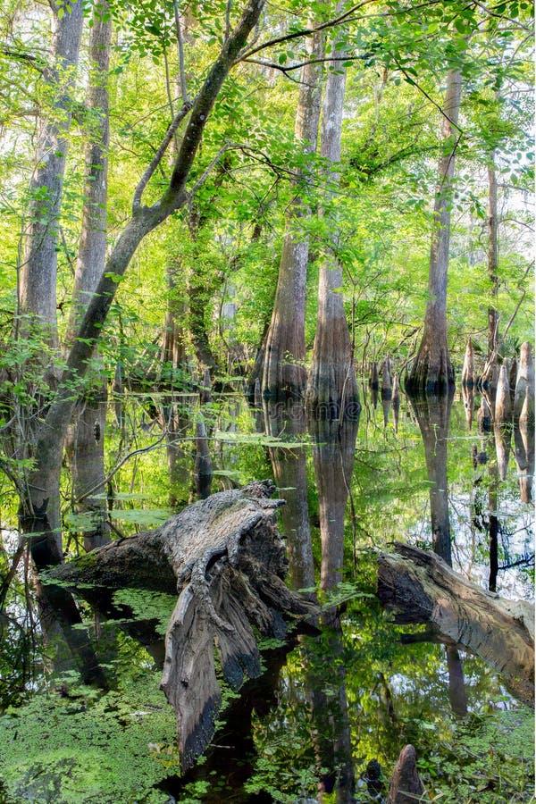 Arbres de Cypress dans le marais photos libres de droits