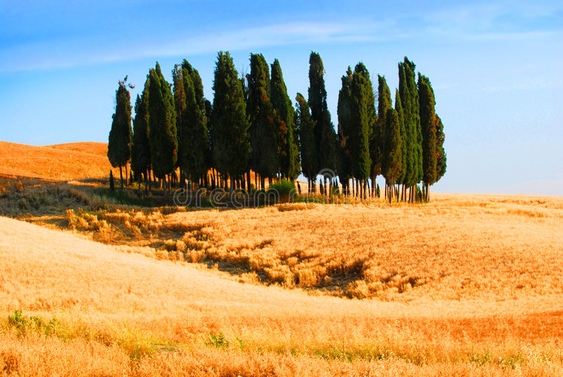 Arbres de Cypress en Toscane image libre de droits