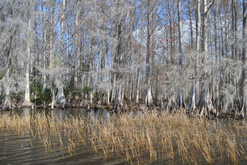 Arbres de Cypress sur le lac images libres de droits
