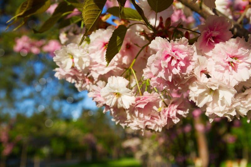 Arbres de fleurs de cerisier, nature et fond de ressort Fleurs roses de Sakura en parc, outdor image stock