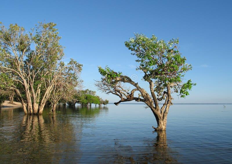 arbres de fleuve d'Amazone images libres de droits