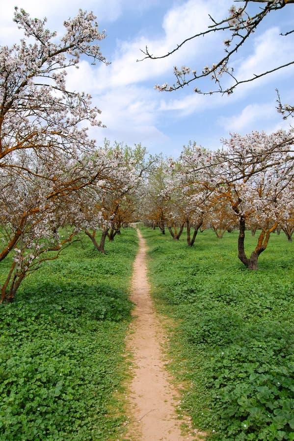 arbres de floraison d'amande photographie stock