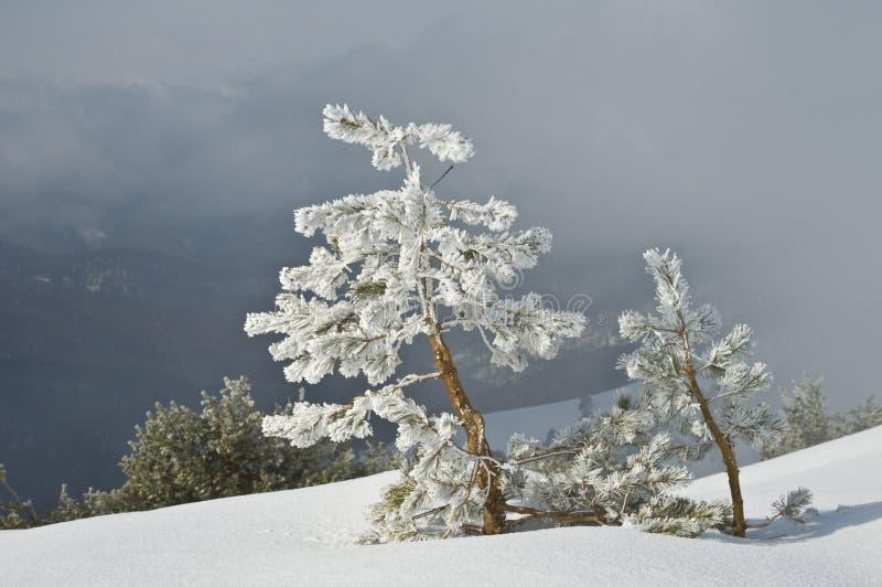 Arbres de Frost photos stock