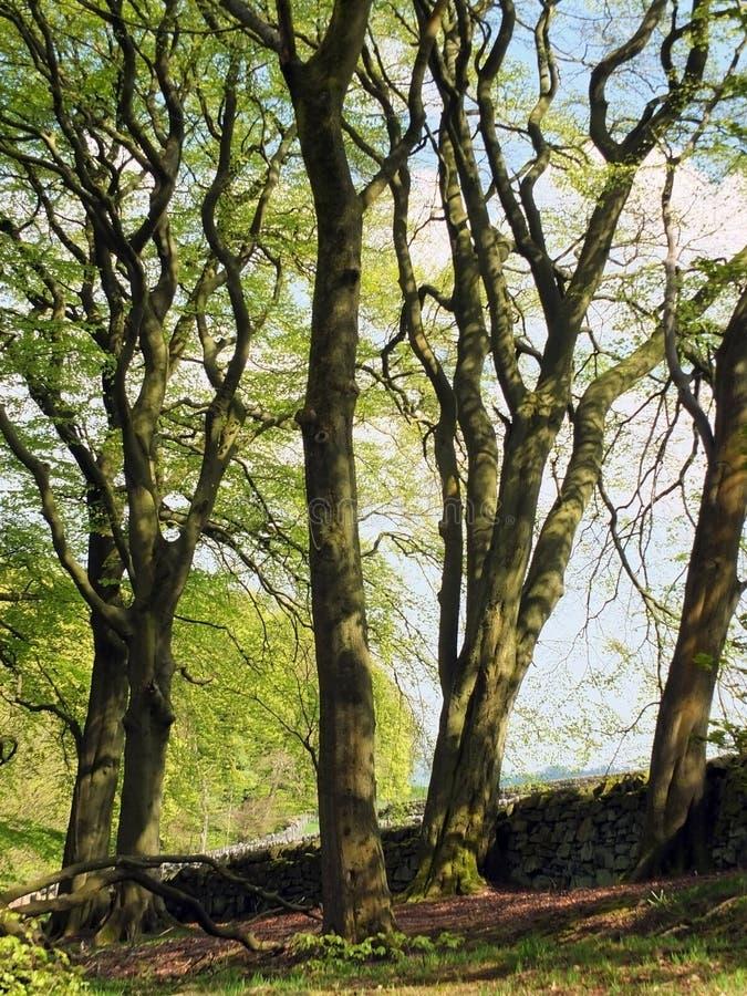 Arbres de hêtre grands se tenant devant un vieux mur en pierre avec le feuillage vert clair de ressort à la lumière du soleil tac photographie stock libre de droits