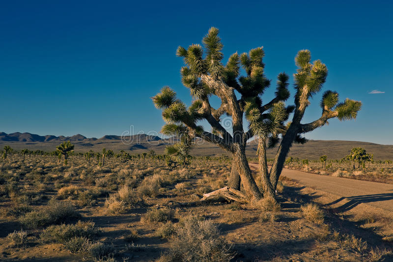 Arbres de Joshua (brevifolia de yucca) photos libres de droits