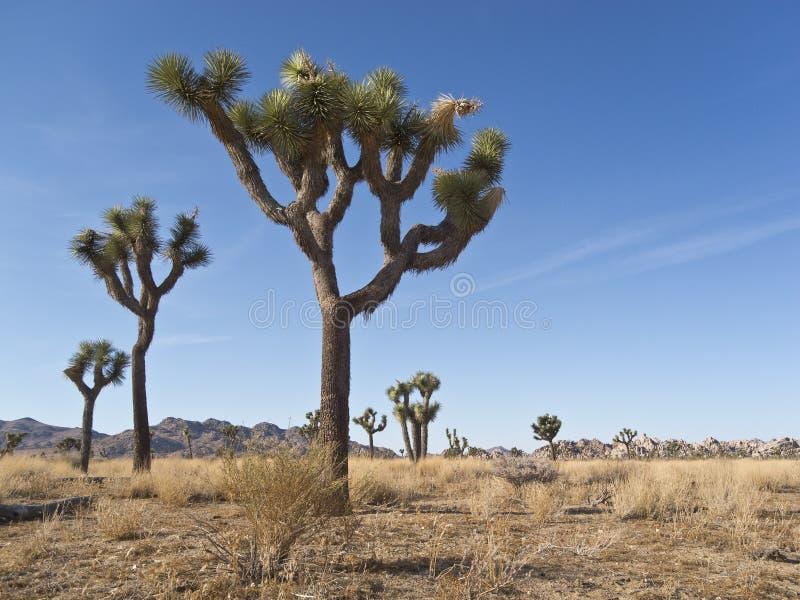 Arbres de Joshua dans le désert des États-Unis de sud-ouest images stock