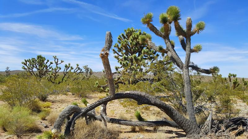 Arbres de Joshue dans le désert de Mojave photo libre de droits