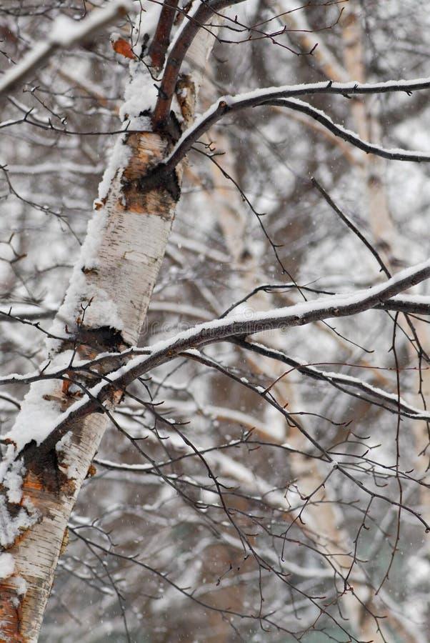 Arbres de l'hiver avec la neige photo libre de droits