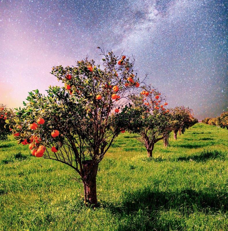Arbres de mandarine oranges de plantation en île Italie Sicile de jardin Ciel nocturne vibrant avec les étoiles et la nébuleuse e photographie stock libre de droits