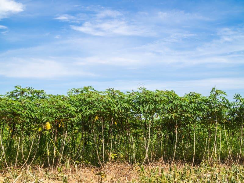 Arbres de manioc photo libre de droits