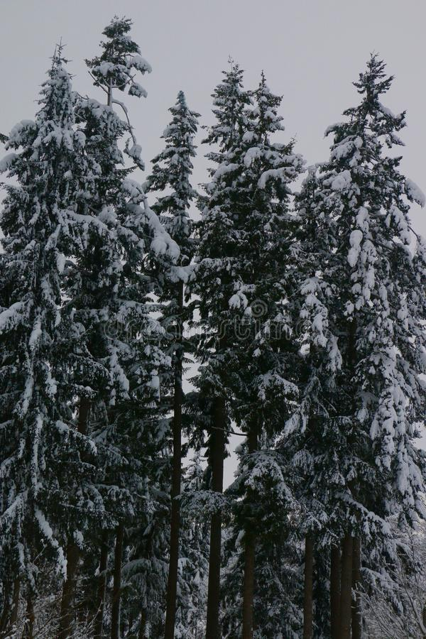 Download Arbres de Milou image stock. Image du neigeux, evergreens - 87702189