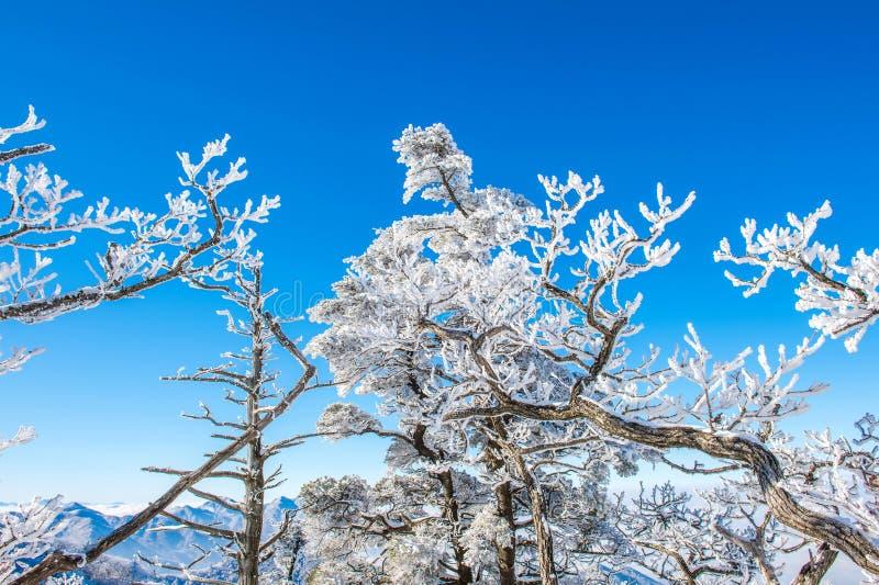 Arbres de neige, Seoraksan en hiver, Corée photo libre de droits