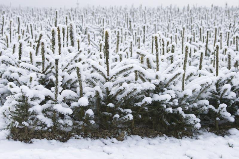 Arbres de Noël photo stock