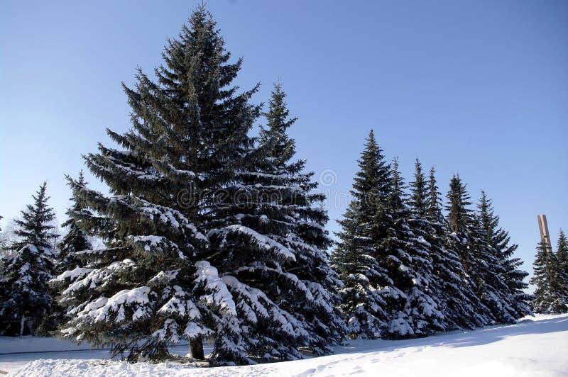 Arbres de Noël sous la neige, photo de paysage d'hiver photos libres de droits