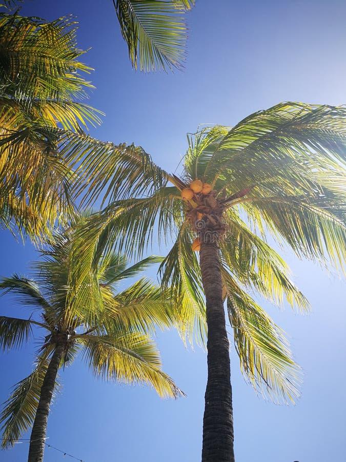 Arbres de noix de coco des Caraïbes photographie stock libre de droits