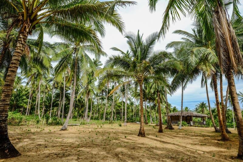 Arbres de noix de coco sur l'île de Coron, Philippines photo stock
