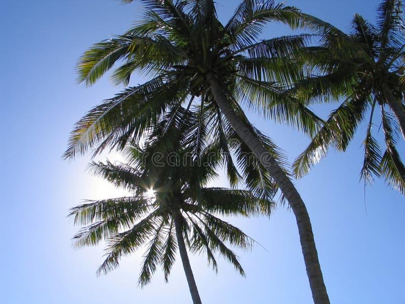Arbres de noix de coco