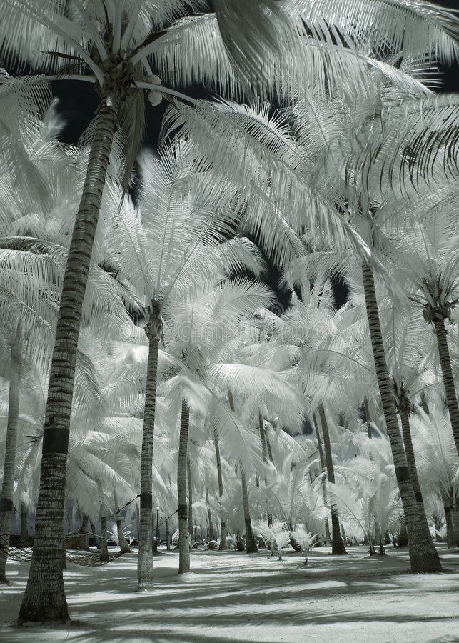 Arbres de noix de coco albinos photographie stock libre de droits