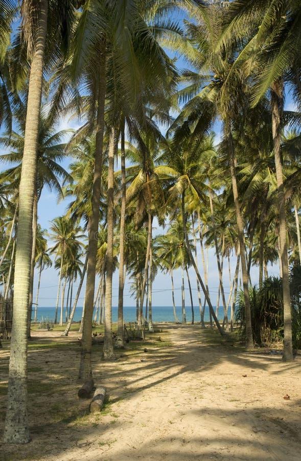 Arbres de noix de coco dans Terengganu, M photographie stock libre de droits