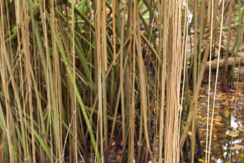 Arbres de palétuvier s'élevant dans l'eau, racines image stock