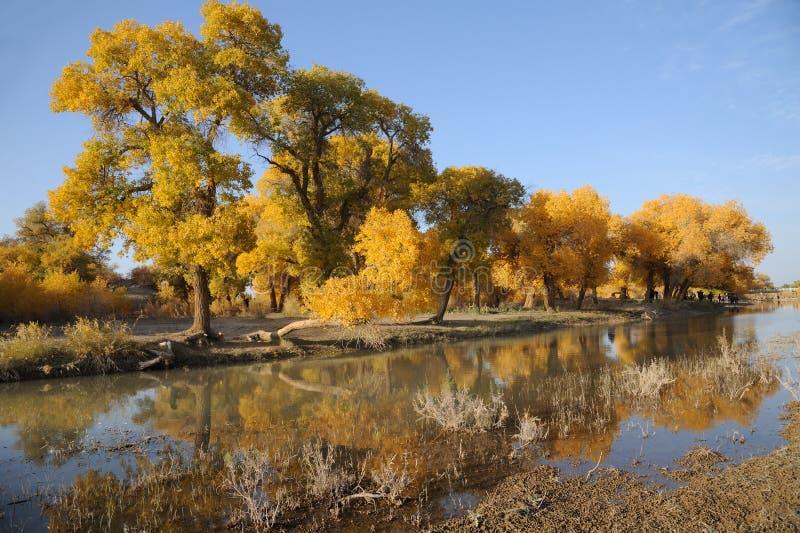 Arbres de peuplier en automne photographie stock