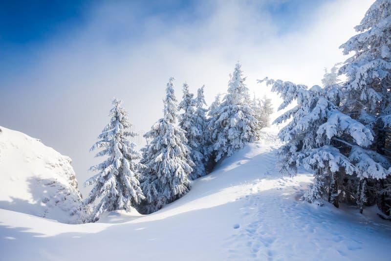 Arbres de pin couverts dans la neige image libre de droits