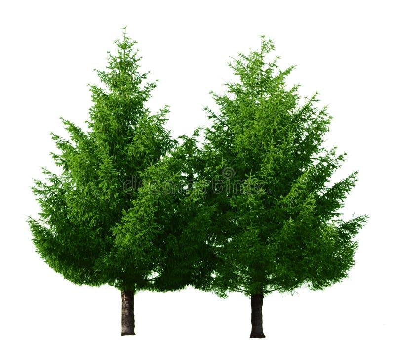 arbres de pin deux photos libres de droits